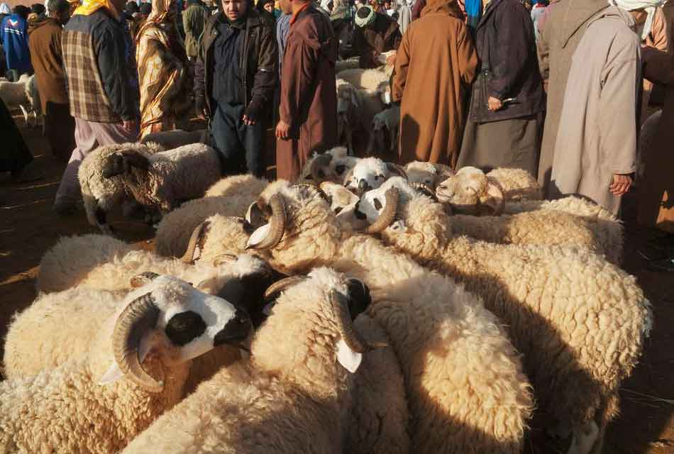Moroccan sheeps Market